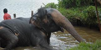 Koupání slona Lexi na sloní farmě, Srí Lanka