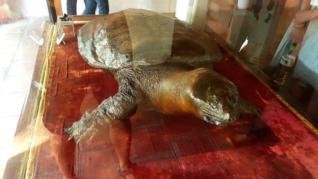 dva metry velká želva